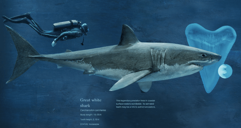 sharks national geographic story
